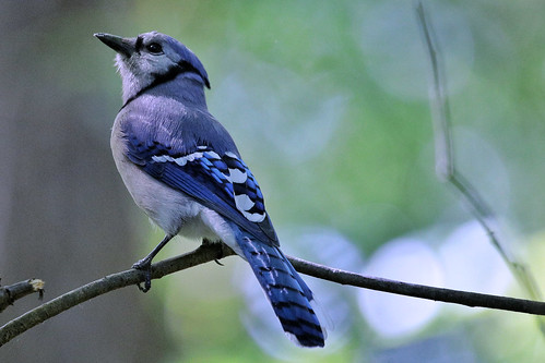 Blue Jay | by Kgriffith45