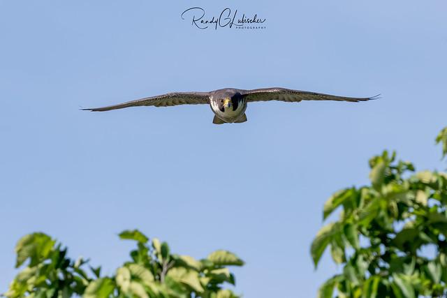 Peregrine Falcon - Falco peregrinus | 2020 - 12