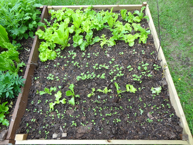 Lettuce and radish seedlings planted out into the Extension