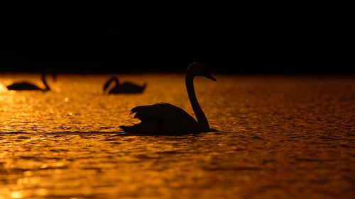 sunset swans norfok broads uk wildlife bird jonathan casey photography nikon d850 400mm f28 vr