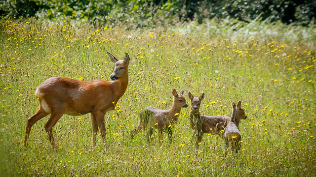 Roe deer and 3 young