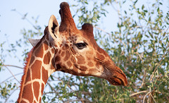 World Giraffe Day – 21 June 2020