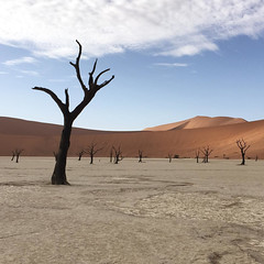 dead trees (1000 year old Acacia erioloba in deadvlei in The Namib desert)