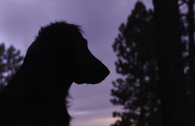 6/12 b -- Sibley, quizzical:  silhouetted at sunset