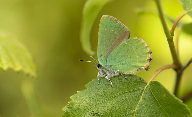 Green Hairstrek - Callophrys Ruby