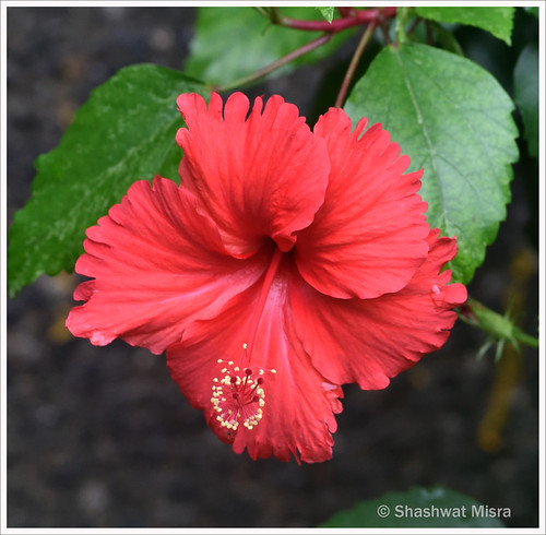 Hibiscus rosa-sinensis | by Shashwat art images