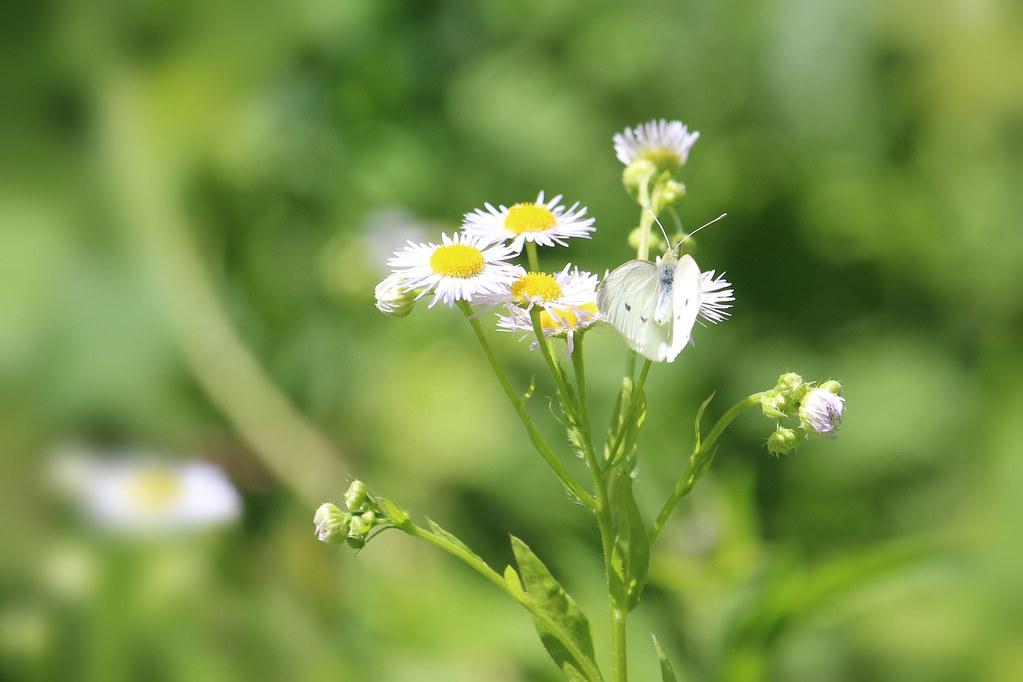 Farfalle en rafale (small white)