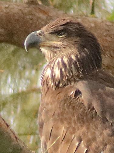 Bald Eaglet P Piney 24 female portrait 09-20200621