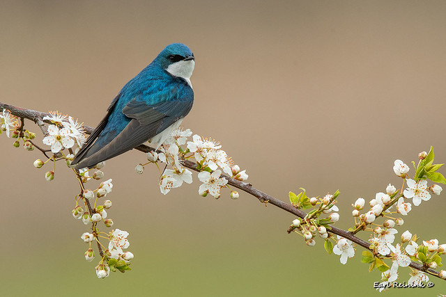 Tree Swallow and blossums
