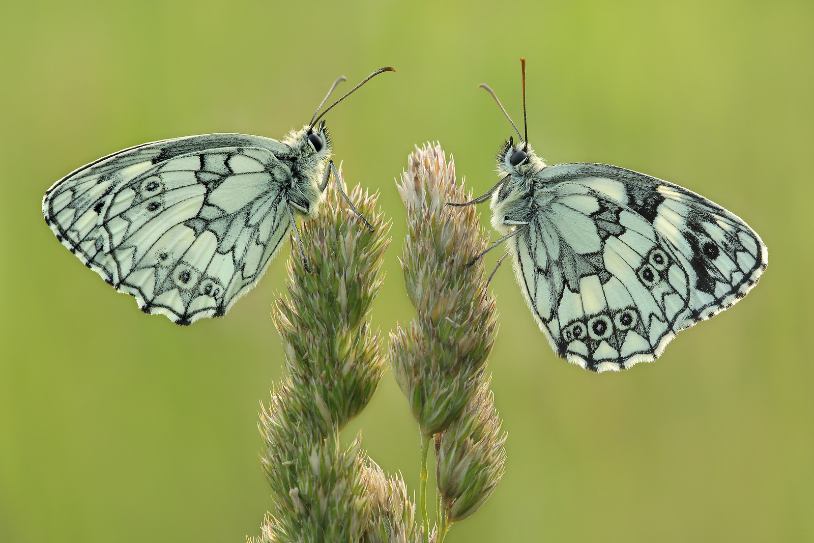 Male Marbled Whites