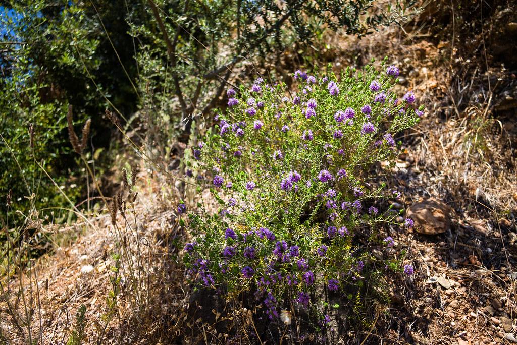 Thymus vulgaris, Tomillo