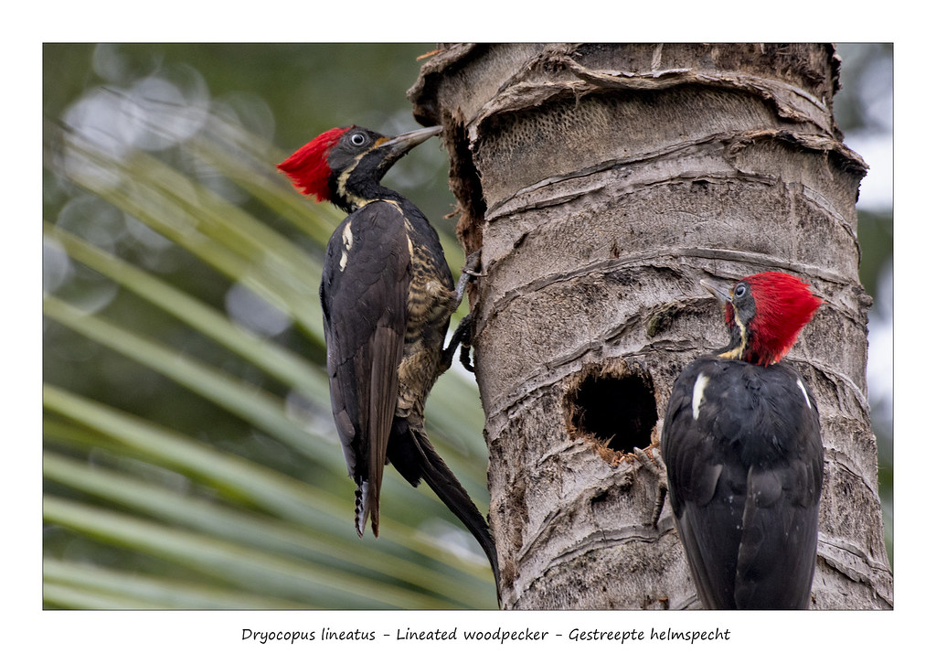 Lineated woodpecker #5