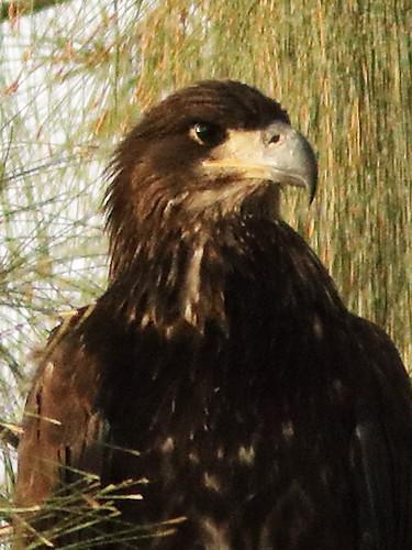 Bald Eaglet P Piney 25 male portrait 05-20200621