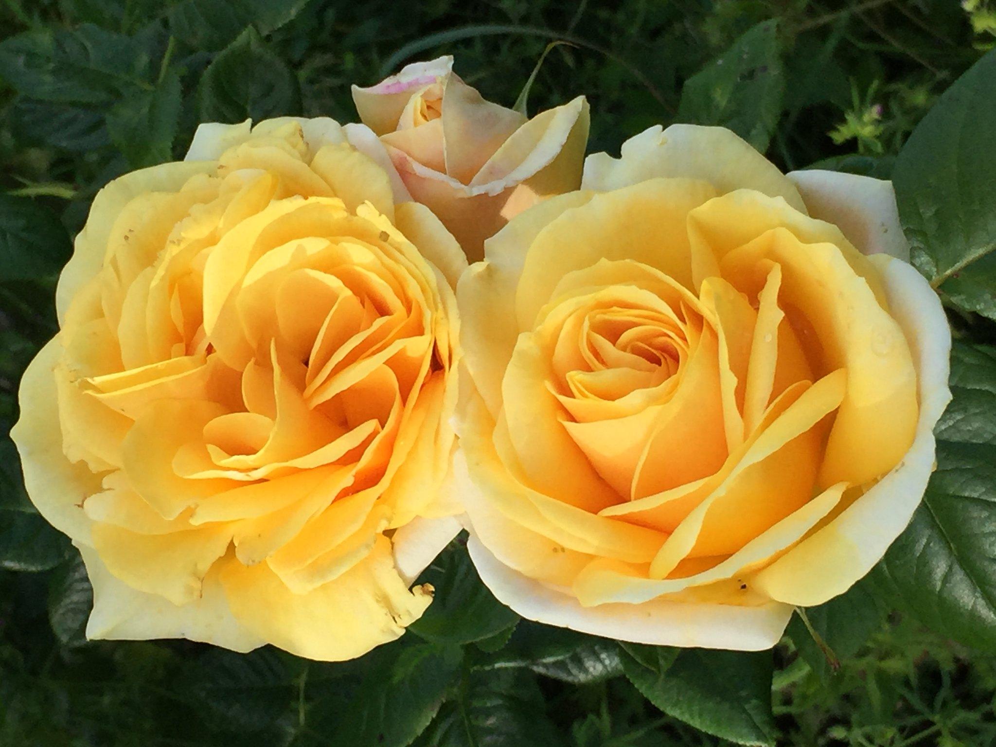 Rose double jaune - Marie Catherine Phanekham