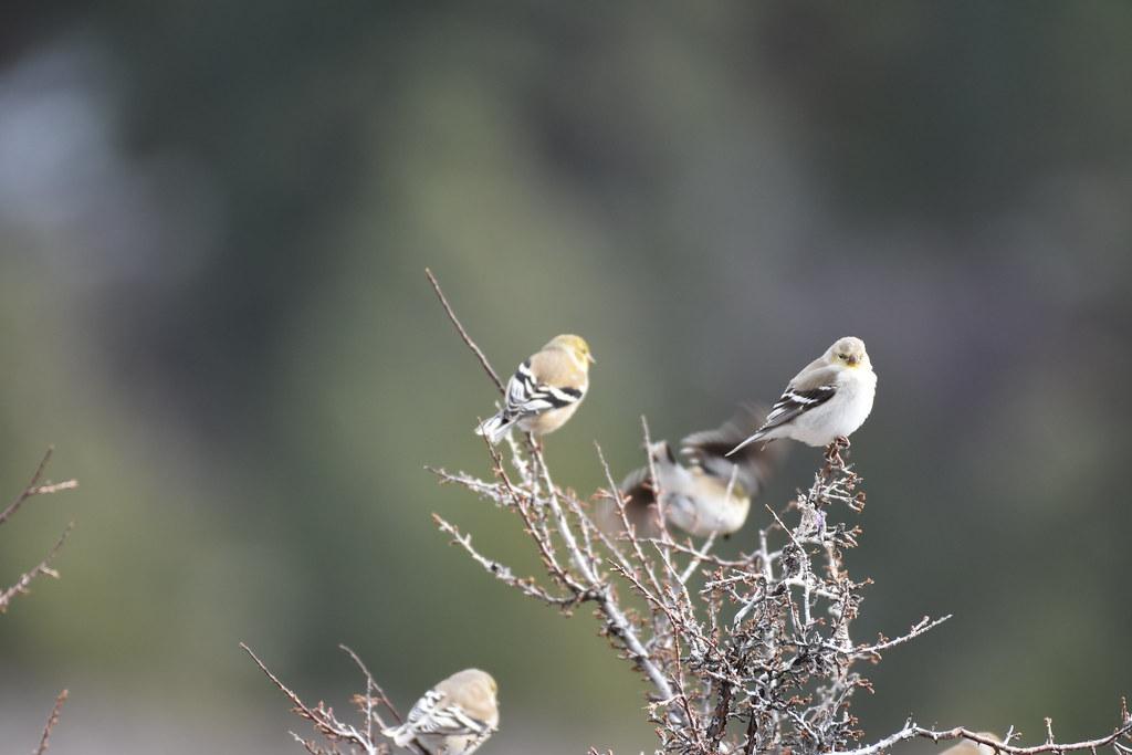 Goldfinch Winter