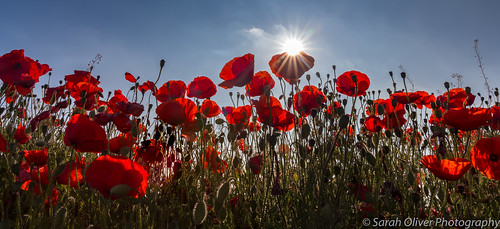 poppy field hertfordshire uk united kingdom england canon 6d nature flower flora red sun landscape countryside fowlmere sunburst looking up bloom rouge rosso fauna poppies cambridgeshire prolific