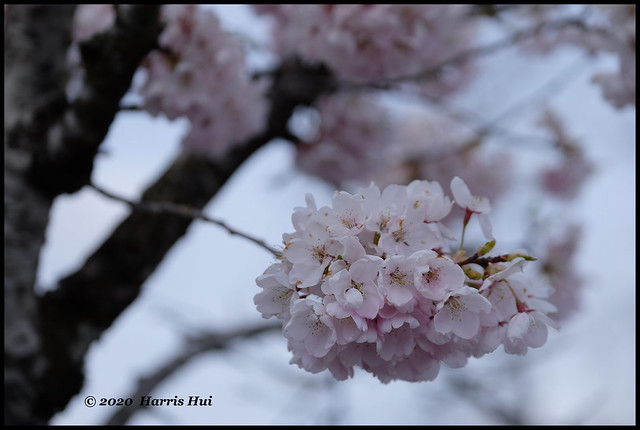 Cherry Blossoms In The Time Of Pandemic - Blundell XT9015e