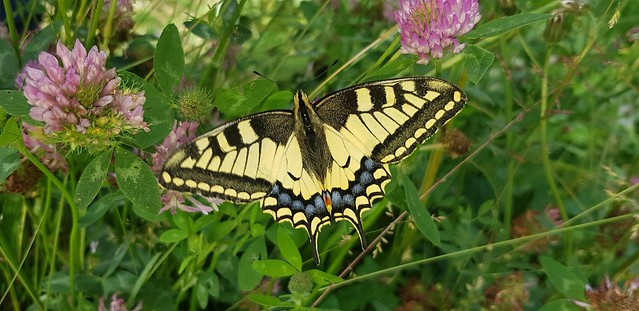 I am very happy to fotographed this amazing swallowtail today. [on Explore at 22/06/2020]
