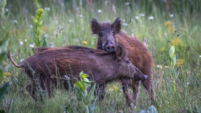 Sanglier - Boar