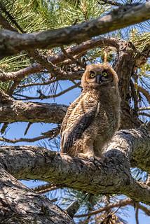 Great Horned Owlet_6684