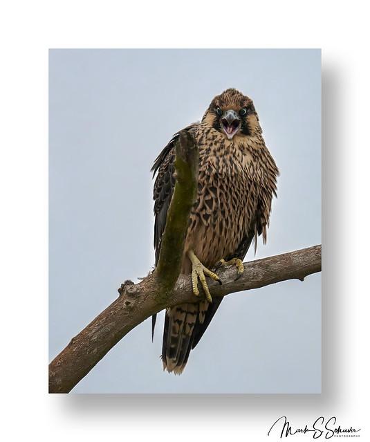 Young Peregrine Falcon near Alton Illinois - No. 2