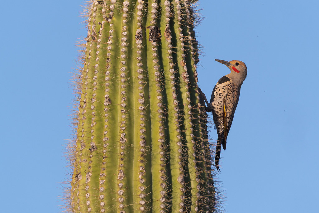 A male gilded flicker perches outside a hole near the top of a sagauro near Powerline Road No. 2 in McDowell Sonoran Preserve in Scottsdale, Arizona in May 2020