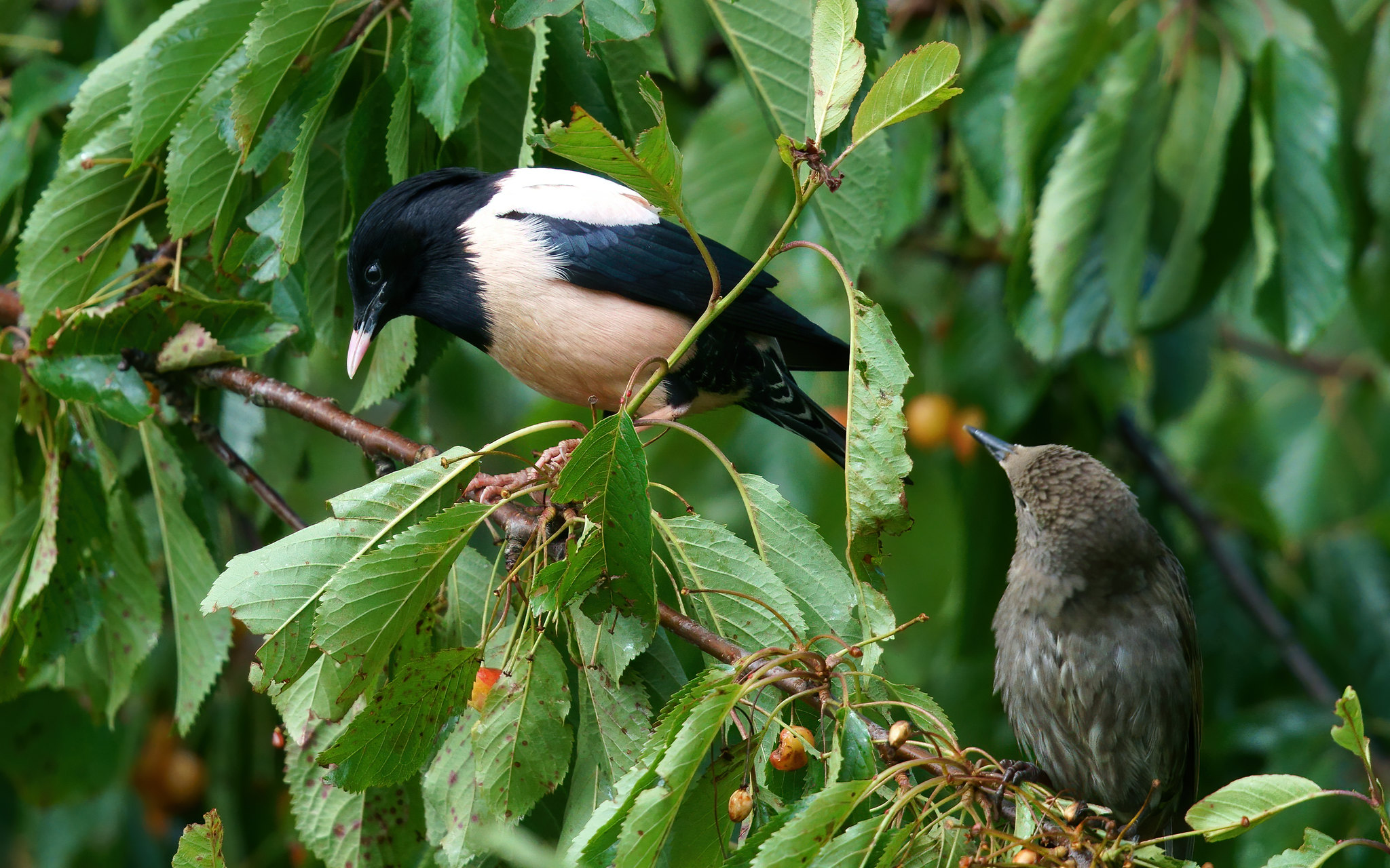 Rosy Starling with Common looking on