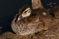 Sunning Wood Duck
