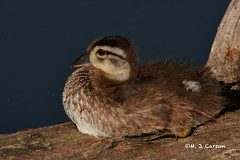 Resting Wood Duck