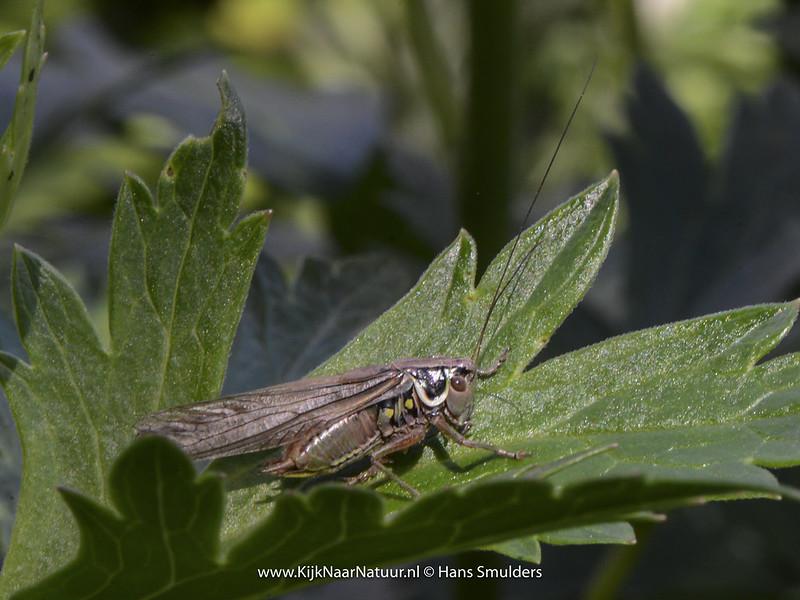 Greppelsprinkhaan (Metrioptera roeselii)-♀-620_0388
