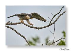 Peregrine Falcon near Alton Illinois - No. 1