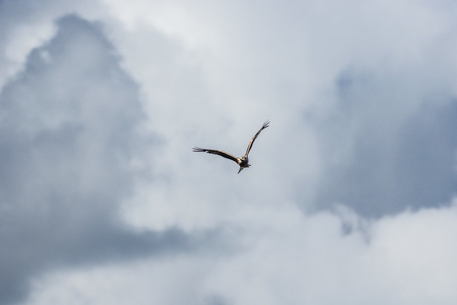 Invasion of the Red Kites II
