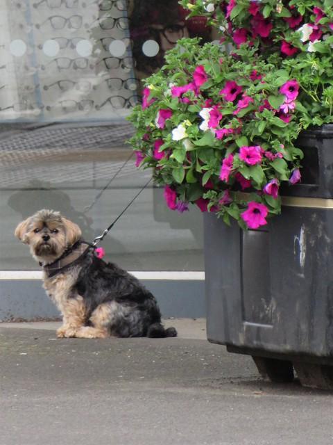 Flo Yorkie Poo Dog Sitting Next To Oakham Town Council Planter