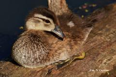 Demure Duck