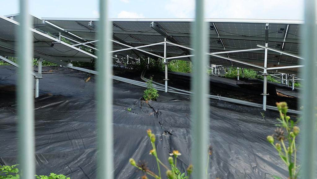光電下的黑色幕為抑草蓆,避免雜草叢生影響光電。攝影:陳文姿