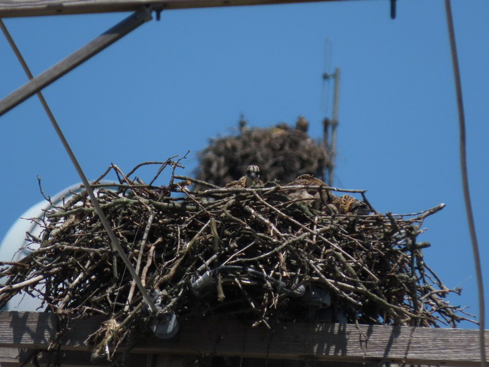 Osprey Nest/Peregrine Nest