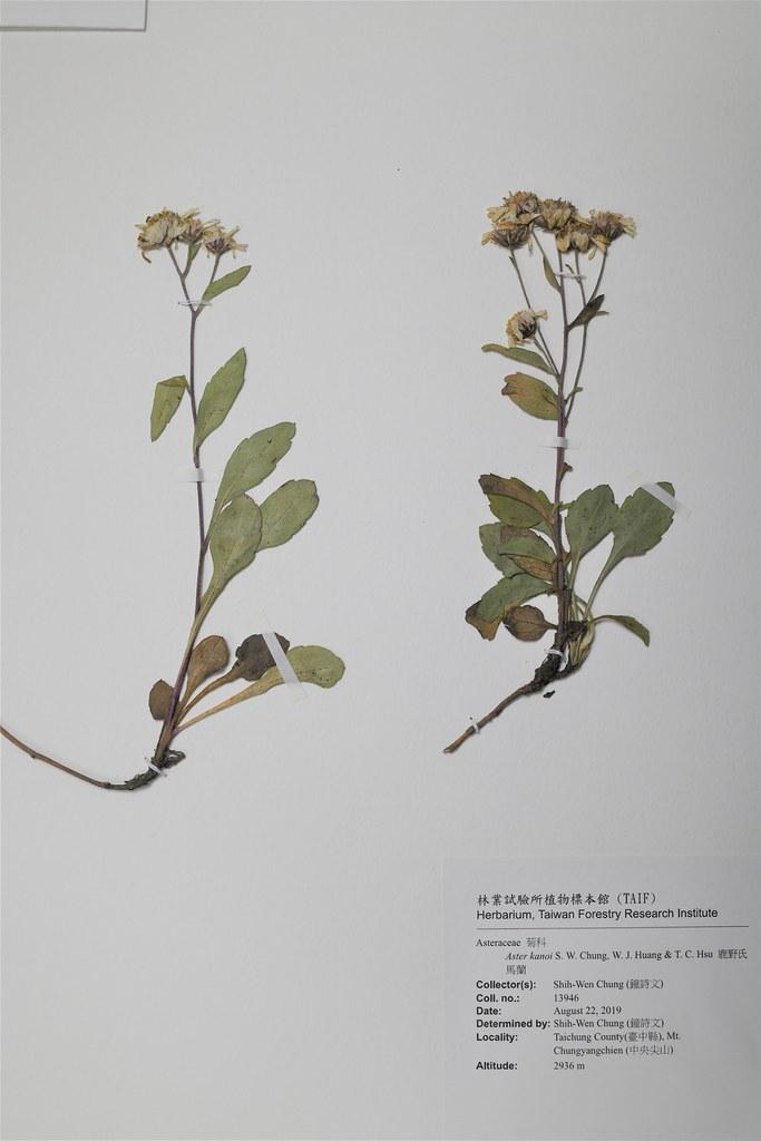 鹿野氏馬蘭模式標本現存於林業試驗所植物標本館
