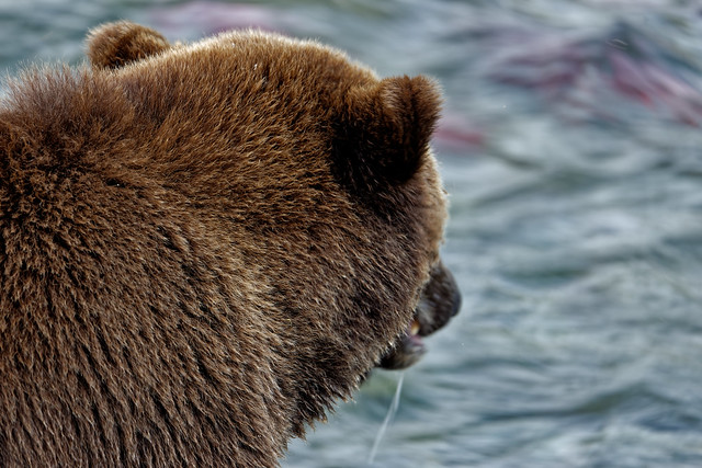 Reds of Sockeye Salmon in the Brooks River Under the Watchful Glaze of a Brown Bear (Katmai National Park & Preserve)
