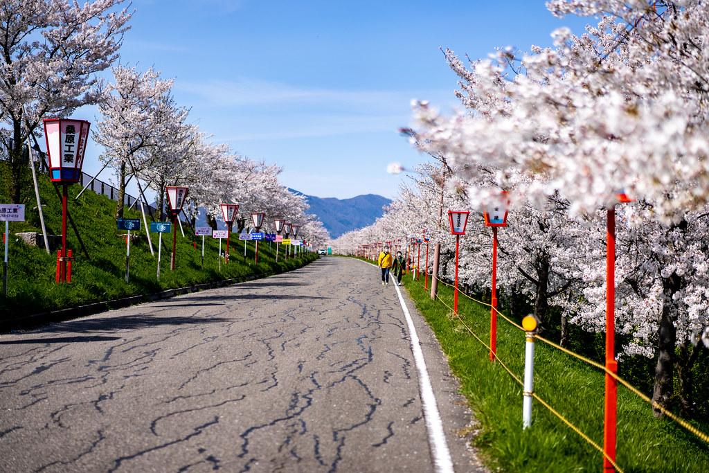 大河津分水 桜と可動堰