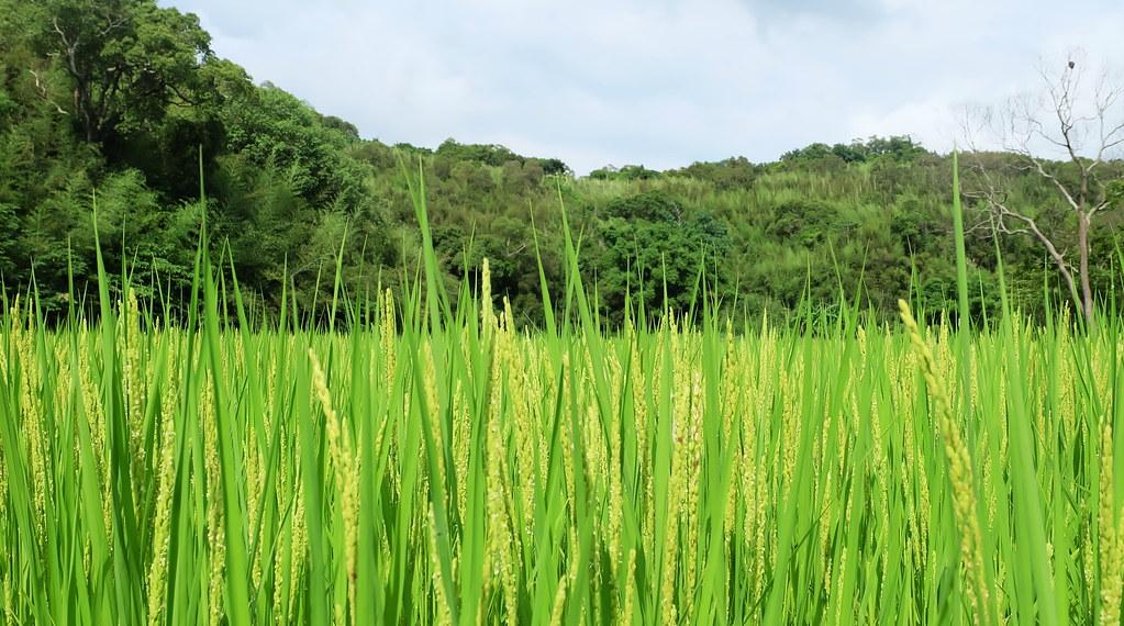 田鱉田附近田地都位在山坡底下,少了淺山棲地,田裡的生態也受影響。攝影:陳文姿