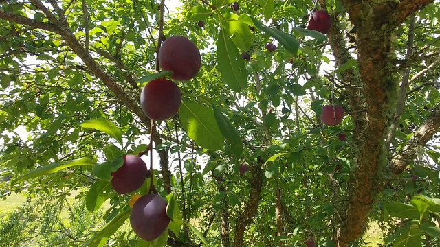 The Ripe Plums on the Limb
