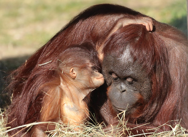 Borneo orangutan Tjintha and Minggu Ouwehand BB2A0932
