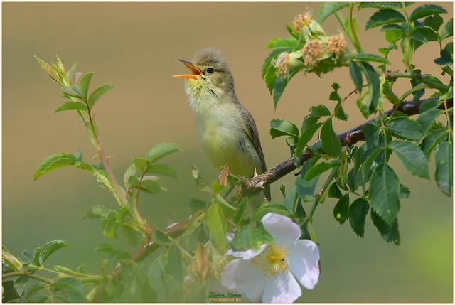Hypolaïs polyglotte ( Hippolais polyglotta - Melodious Warbler )