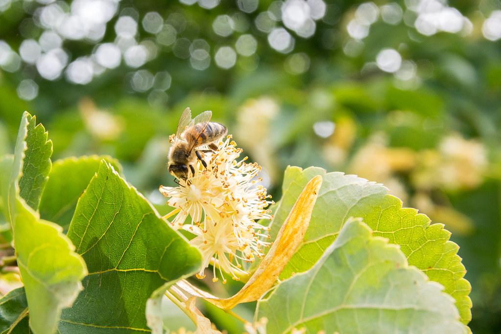 Gathering pollen.