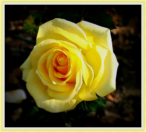 My yellow rose at Pasadena