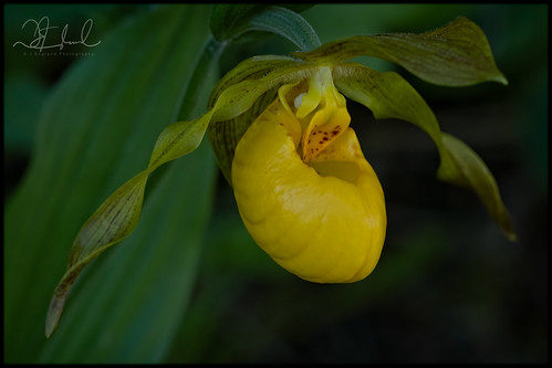 The Yellow Lady's Slipper