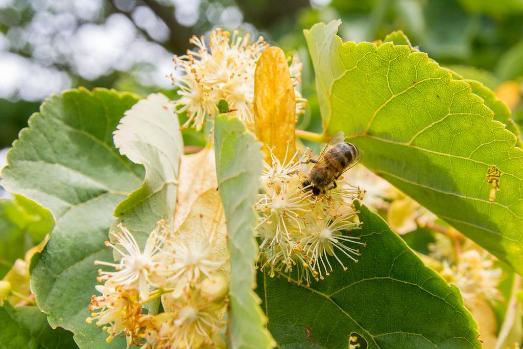 Bee on linden flower.