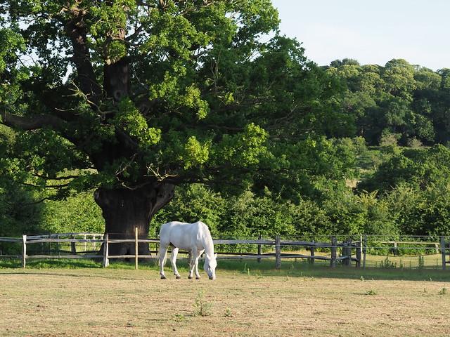 P6160007 White horse