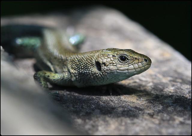 Common Lizard - Prestbury Hill