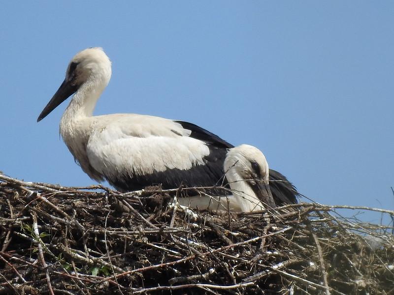 1-Jungstoerche-allein-im-Nest-Nadia-baumgart